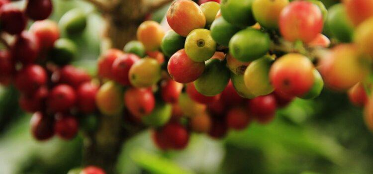Uprawa kawy w domu – jak zacząć? Zobacz krótki poradnik